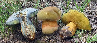 Boletus luridus - hřib koloděj Foto: Aleš Vít