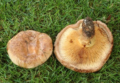 Paxillus involutus - čechratka podvinutá - Foto: Aleš Vít