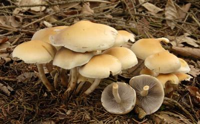 Hypholoma capnoides - třepenitka maková - Foto: Aleš Vít