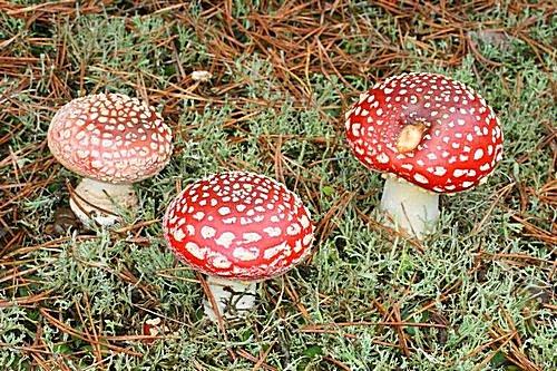 muchomůrka červená - typická forma, jedovatá - foto: Radim Dvořák