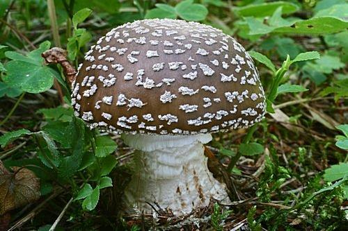 muchomůrka šedivka, jedlá - foto: Martin Kříž