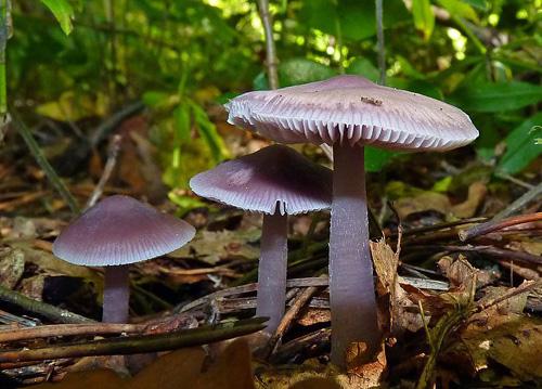 Mycena pura - helmovka ředkvičková - Foto: Petr Mikuš
