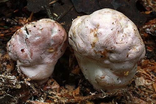 Phallogaster saccatus - rozpuklec hruškovitý - Foto: Pavel Špinar