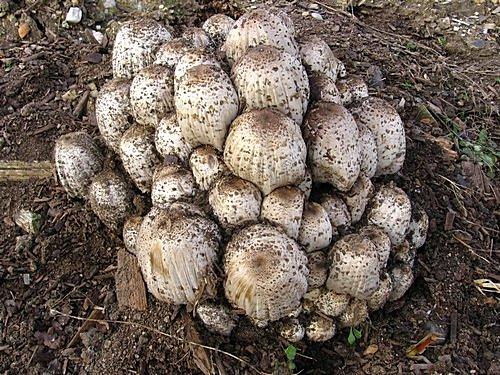 hnojník Romagnesiho, pravděpodobně jedovatý vkombinaci salkoholem - foto: Dalibor Marounek