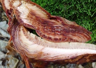 Fistulina hepatica - pstřeň dubový alias - masojed - foto: Aleš Vít