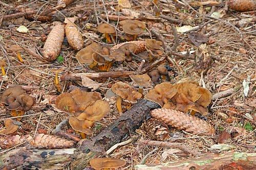 liška nálevkovitá - růst ve skupinách - foto: Radim Dvořák