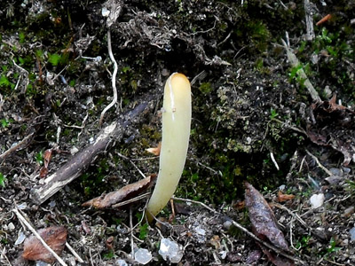 Kyjanka - Clavaria sp.