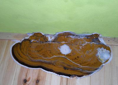 Dřevomorka domácí - Serpula lacrymans - agresivní škůdce na dřevěných konstrukcích našich obydlí - foto zdošlé pošty