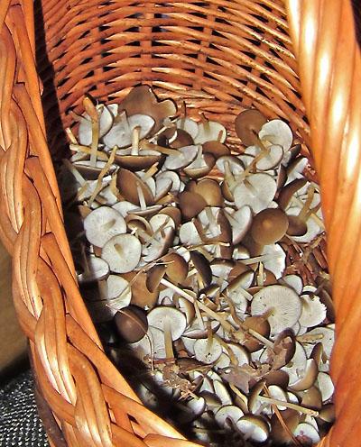 Penízovky smrkové (Strobilurus esculentus) do jarní polévky...