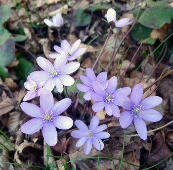 Jaterník podléška - Hepatica nobilis
