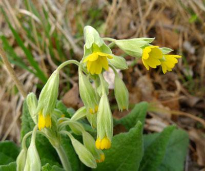 Prvosenka jarní (petrklíč) - Primula veris
