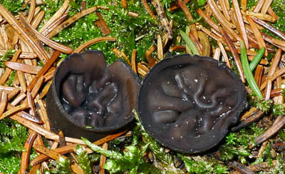 ušíčko černé – Pseudoplectania nigrella