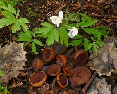 hlízenka sasanková – Sclerotinia tuberosa