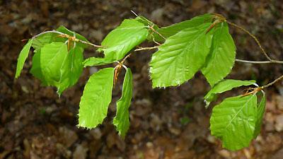 mladé listoví buku lesního - Fagus sylvatica