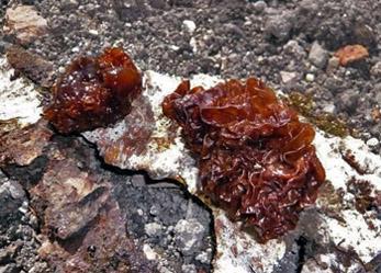 rosolovka listovitá – Tremella foliacea - foto: Pavla Pavlová