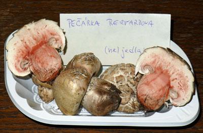 pečárka Bernardova - Agaricus bernardii