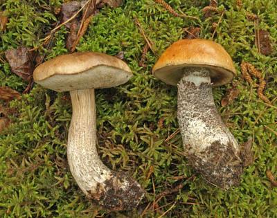 kozák březový - Leccinum scabrum akřemenáč březový – L. versipelle - foto: Pavel Dombaj