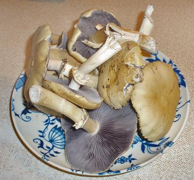 límcovka vrásčitoprstenná - Stropharia rugusoanulata - foto: Pavla Güttnerová