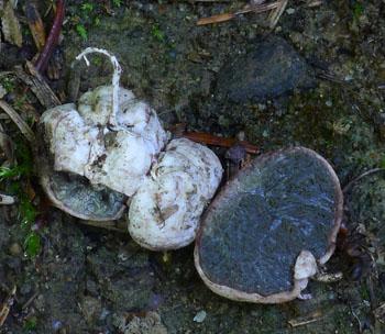jedna zpodzemek, zástupce rodu loupavka - Hysterangium sp.
