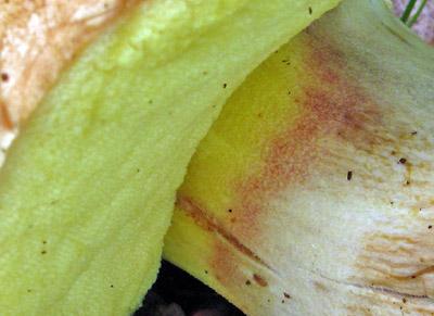 červený proužek na třeni - jeden zurčovacích znaků pro h. plavý