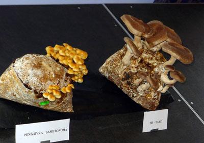 ukázka pěstovaných hub