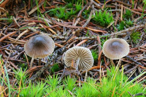 Mycena septentrionalis - foto: Radim Dvořák