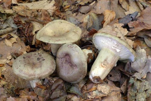 1.jaký je český ilatinský název téhle pěkné, ač nejedlé houby?
