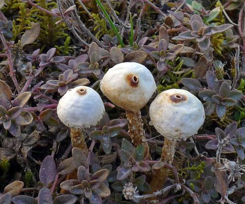1. uveďte český alatinský název této drobné houby, kterou lze najít iv těchto dnech