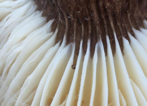 3. jmenujte český název houby vdetailu auveďte její jedlost - foto: Oldřich Jindřich - fotosoutěž ČMS