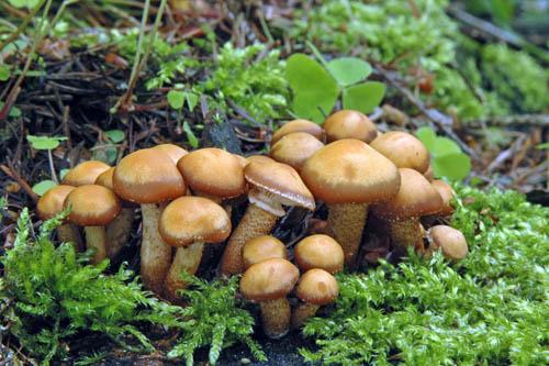 1. uveďte český alatinský název těchto chutných dřevních atrsnatě rostoucích hub, známých vJizerských horách pod lidovým názvem (voňata)