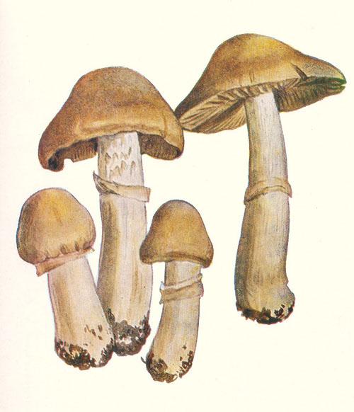 1. uveďte český aslovenský název ajedlost houby na obrázku, jejíž starší lidové jméno je (vráskovec) - kresba: Rudolf Vejrych, 1933, Houby na dopisnicích I.