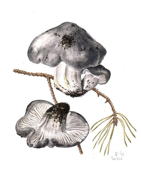 1.Jaký je český název ajedlost této jarní houby, kterou podle atlasu jistě každý znáte, ale jen málo kdo zvás má to štěstí ji vpřírodě běžně nacházet? - kresba: Antonín Bielich, 2002