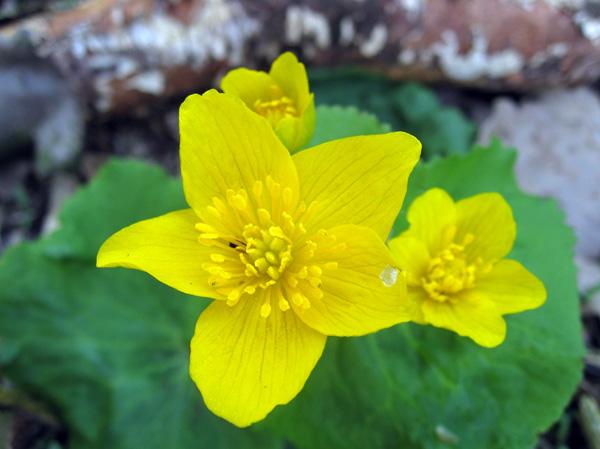 2.Napište český aslovenský název této vytrvalé bahenní rostliny. Určete, zda se používá se kpřípravě bylinného léčivého čaje, nebo je jedovatá?