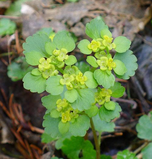 2. Pojmenujte česky, slovensky rostlinu na obrázku. Již za pár dní ji nejen houbaři uvidí vhustých koloniích upotoků akolem pramenišť.