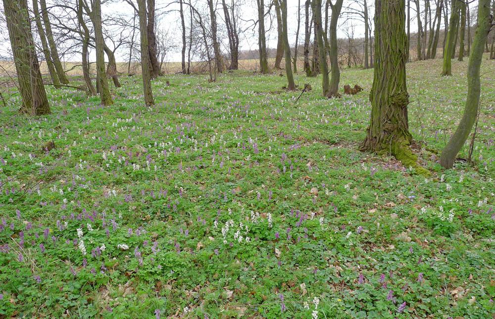 světlé háje nyní zdobí rozmanitá kvetoucí jarní flóra