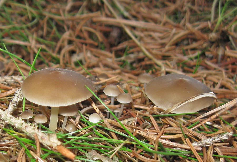 penízovka smrková je sice drobná, ale časná jedlá houba