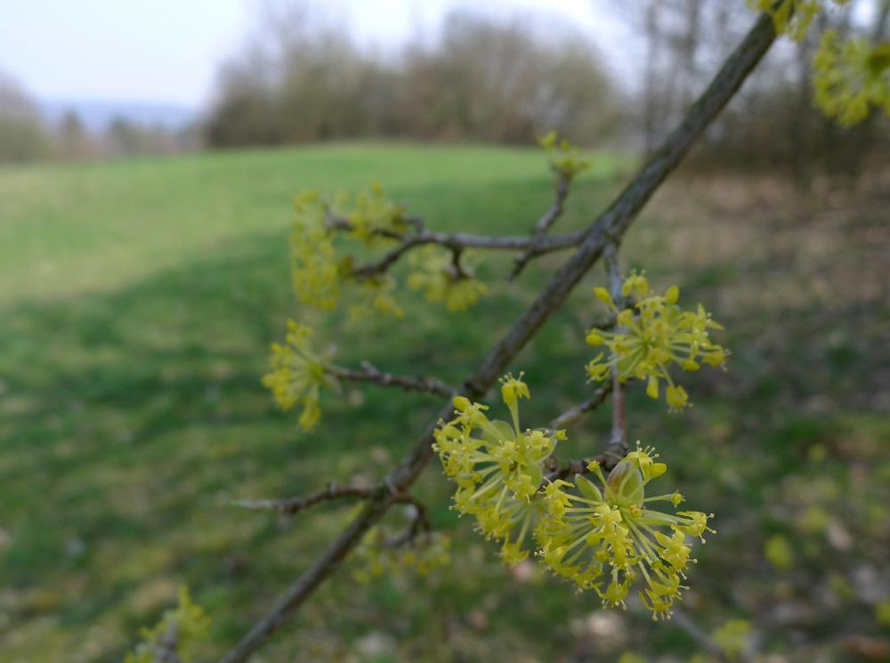 již zdálky nápadné, žluté květy dřínu obecného-Cornus mas