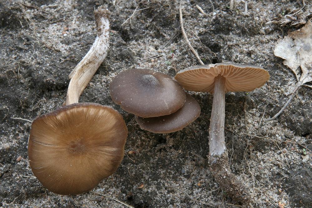 rovněž jedovatá závojenka (zvonovka) jarní-Nolanea vernum, foto: L. Špeta