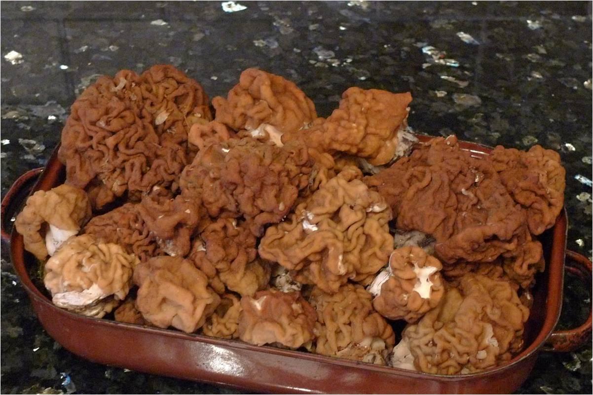 ucháč obrovský patří mezi nejchutnější jarní jedlé houby