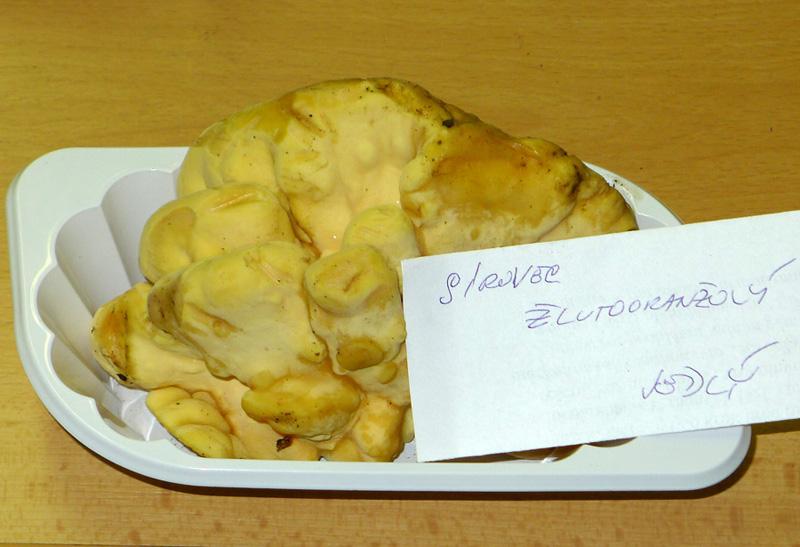 sírovec žlutooranžový-Laetiporus sulphureus, jedlý