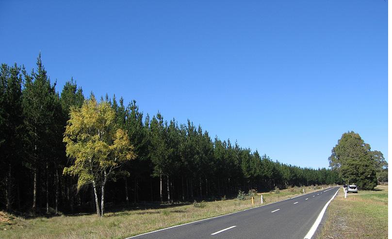 borové lesy sem tam is břízou uOberonu vNovém Jižním Walesu