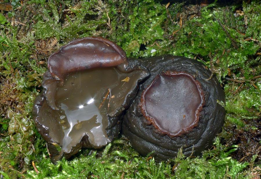 vzácný masečník kulovitý - Sarcosoma globosum