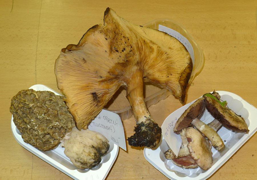 ukázky aktuálně rostoucích druhů hub