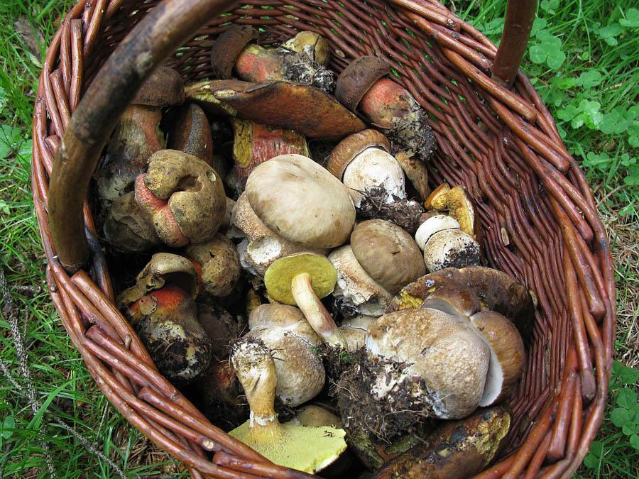aktuální stav růstu hub vněkterých českých lesích, možná, že ive vašem okolí…
