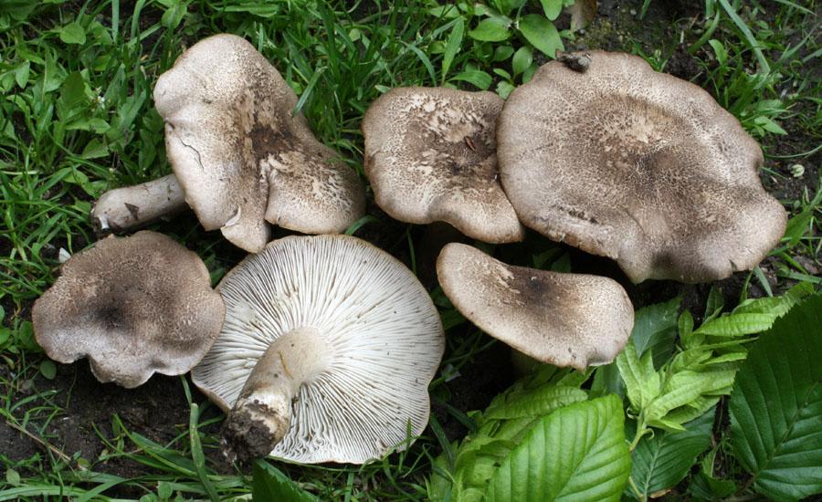 čirůvka šedožemlová – Tricholoma scalpturatum, jedlá