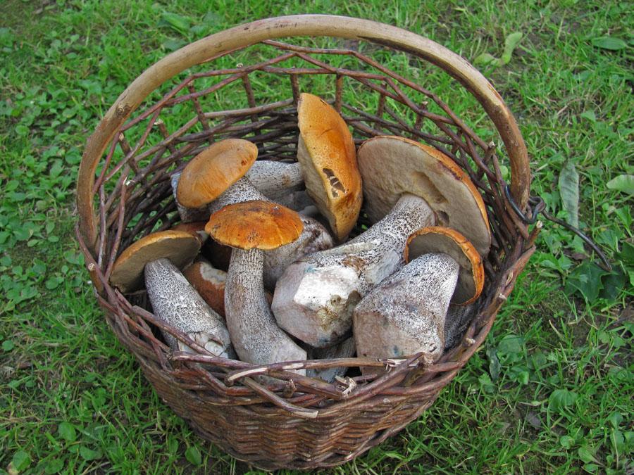 košík výstavních křemenáčů, prudce jedlých, tržních hub - foto: T. Pavelka