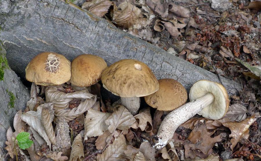 kozák habrový – Leccinum pseudoscabrum, jedlý, tržní druh