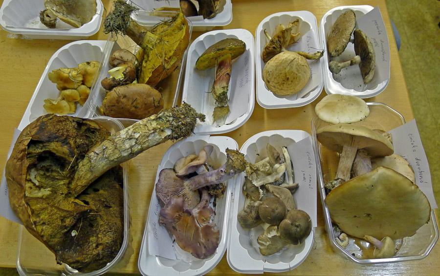hřibivítých hub již ubývá