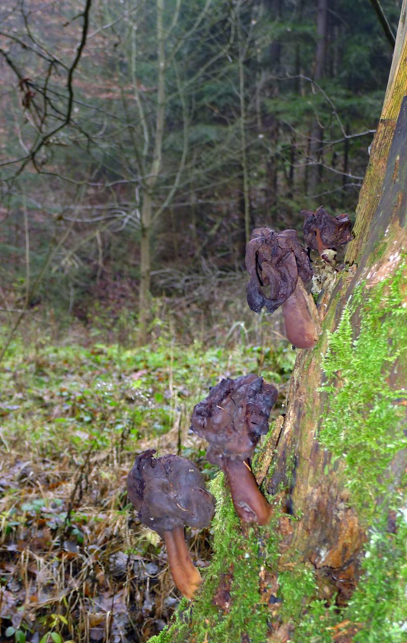 ucháč čepcovitý – Gyromytra infula, nejedlý