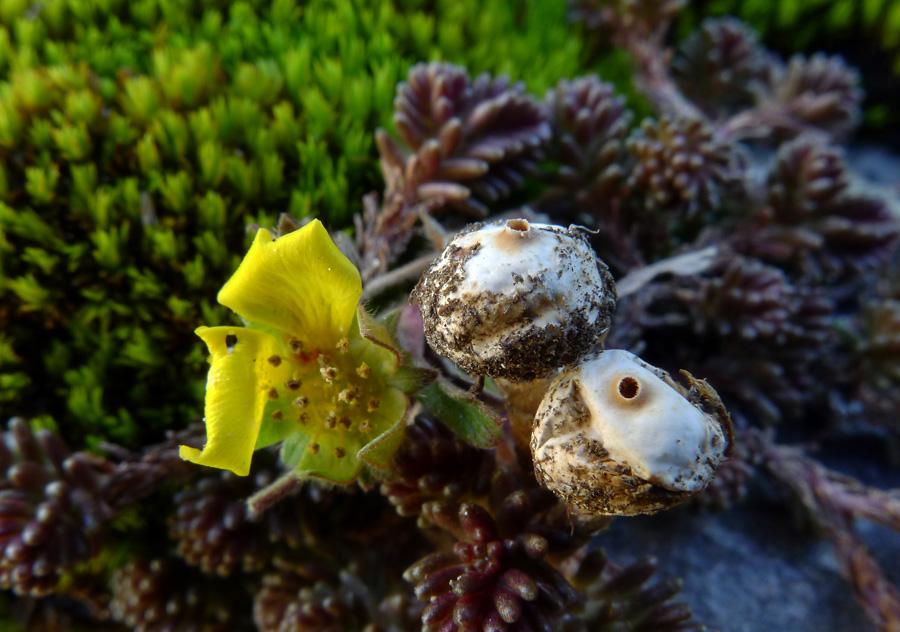 palečka zimní – Tulostoma brumale